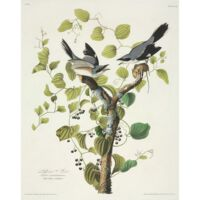 IXXI  Loggerhead Shrike - small 80x100
